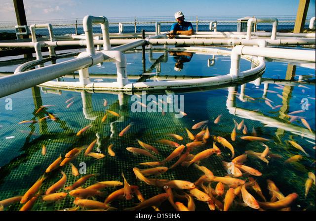 Tilapia farm stock photos tilapia farm stock images alamy for Aquaponics hawaii