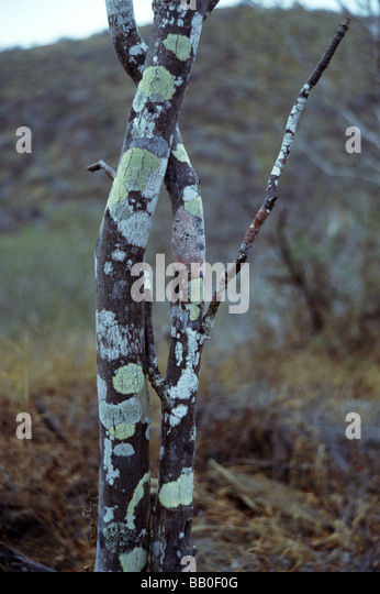 what is a tree trunk covered with 4 letters - palo santo stock photos palo santo stock images alamy