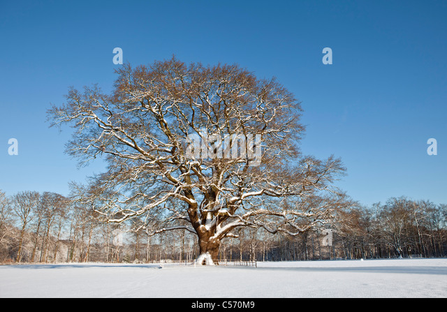 The Netherlands, 's-Graveland, Oak tree in snow. - Stock Image