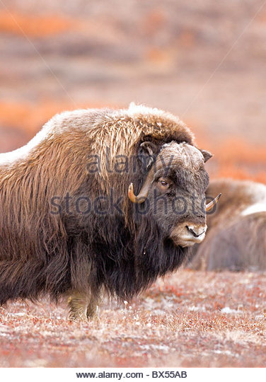 Alaska. Portrait of a bull Muskox (Ovibos moschatus) on guard for other bulls and herd predators during the autumn - Stock Image