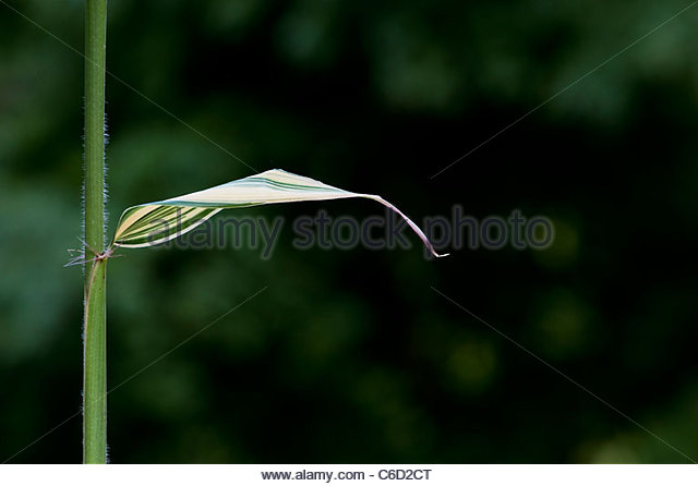Hibanobambusa Tranquillans Shiroshima. Variegated Bamboo leaf - Stock Image