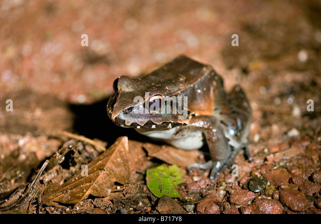 Suriname, Brownsweg, Brownsberg National Park. Giant whistling frog (Leptodactylus pentadactylus.). - Stock-Bilder