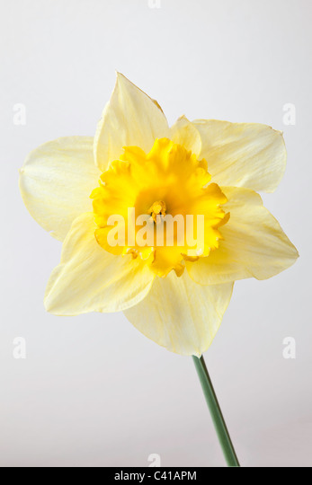 Close-up of daffodil flower and stem. - Stock Image