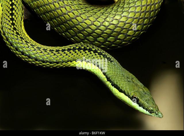 parrot snake (Leptophis diplotropis), portrait - Stock Image