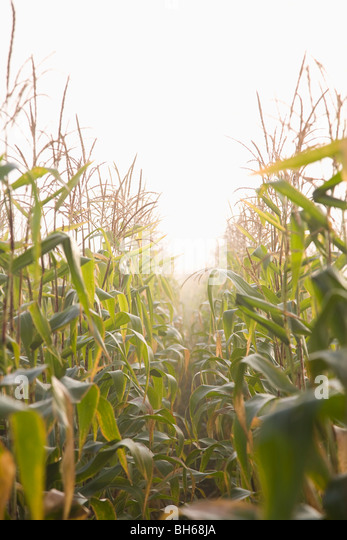 Corn crop in mist - Stock Image