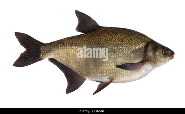 Abramis brama stock photos abramis brama stock images for Common freshwater fish