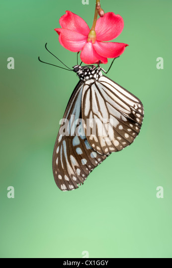 Blue Glassy Tiger Butterfly Tirumala septentrionis South Asia resting on prink flower - Stock-Bilder