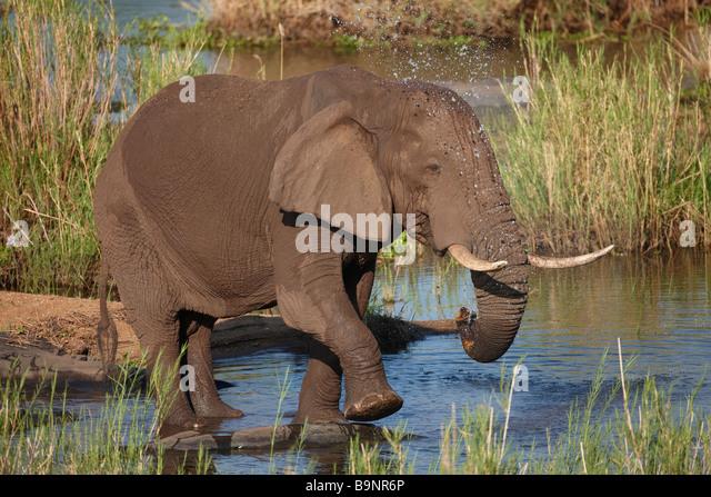 African elephant taking a bath in a river, Kruger National Park, South Africa - Stock-Bilder