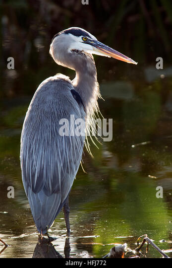 Great Blue Heron (Ardea herodias) - Wakodahatchee Wetlands - Delray Beach, Florida, USA - Stock Image