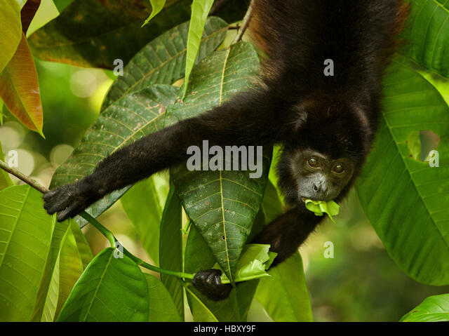 Mantled Howler Monkey (Alouatta palliata) eating a leaf, Costa Rica - Stock Image