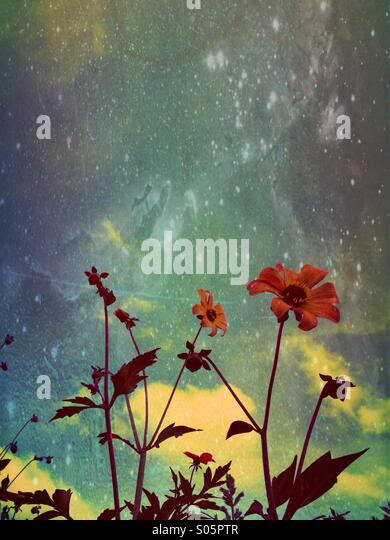 Dahlias with blue sky background - Stock Image
