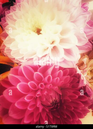 Dahlia flowers - Stock Image