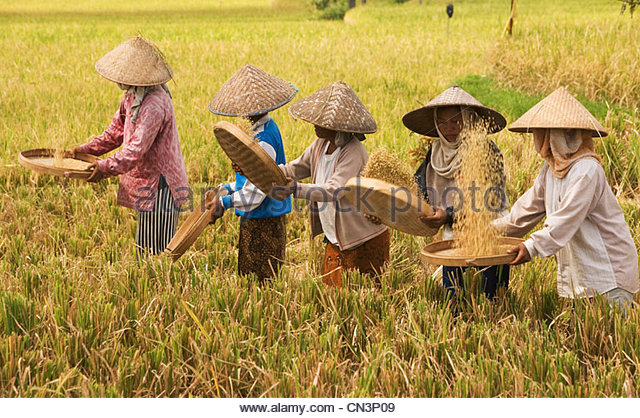 Women threshing rice, Bali, Indonesia - Stock Image