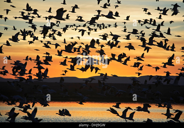 Snow geese (Chen caerulescens) in flight over pond, Bosque del Apache National Wildlife Refuge, New Mexico USA - Stock Image