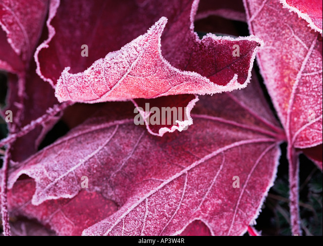 Frost on a bigleaf maple leaf - Stock Image