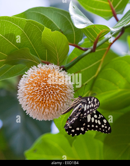 Blossoming flower with butterfly, Murchison Falls, Uganda - Stock Image