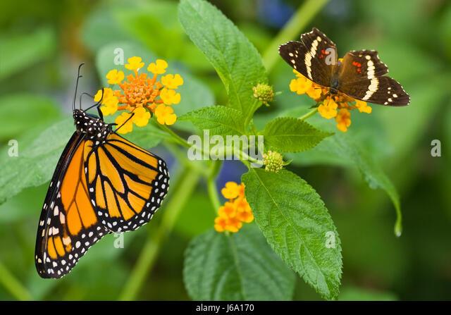 Indian Flag Butterflies: Lantana Camara Spanish Flag Flowers Stock Photos & Lantana