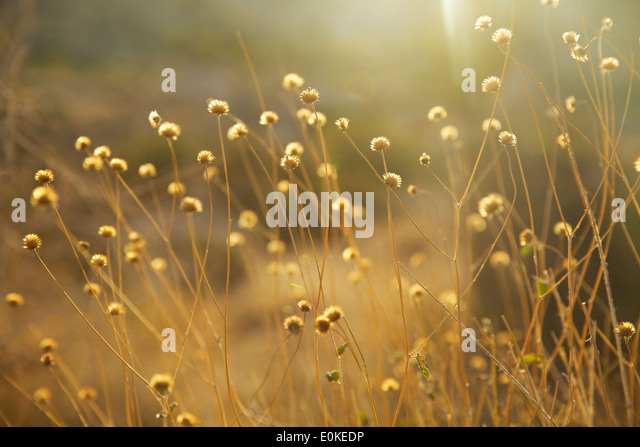 Dried flowers are back lit with golden light in Joshua Tree National Park in Southern California. - Stock Image
