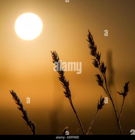 Silhouette of wild grass at sunset - Stock-Bilder