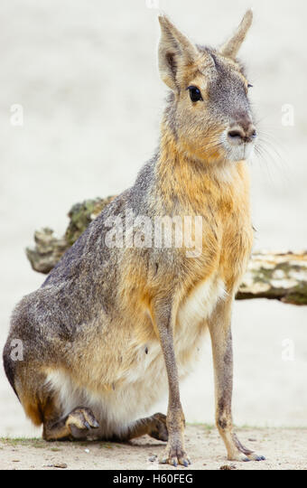A mara, a large relative of te guinea pigs, sitting down. - Stock Image