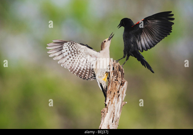 Golden-fronted Woodpecker (Melanerpes aurifrons), female fighting with Red-winged Blackbird, Corpus Christi, Coastal - Stock Image