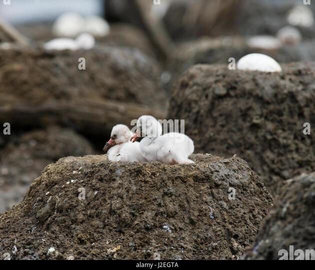 Two chicks Caribbean flamingo in a nest. Cuba. Reserve Rio Maximа. - Stock Image
