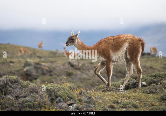 A Guanaco from Torres del Paine National Park, Chile - Stock Image