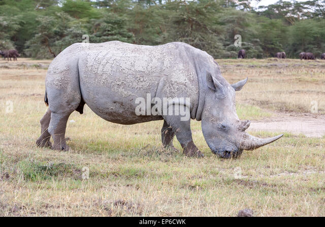 Safari - rhino - Stock Image