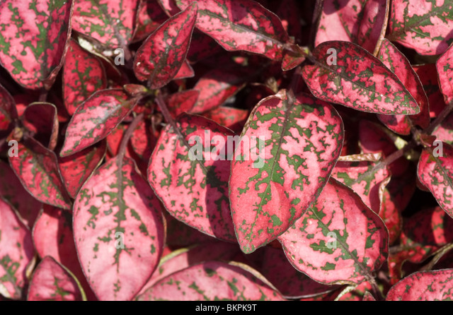 Red dotted leaves of Hypoestes 'Red Splash Select', Polka dotted plant - Stock Image
