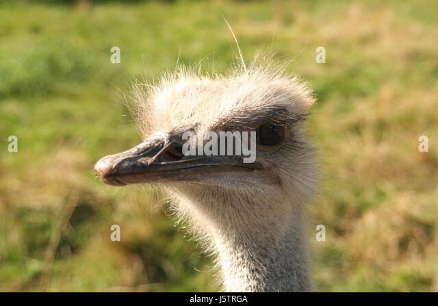 Ostrich Angry Stock Photos Amp Ostrich Angry Stock Images