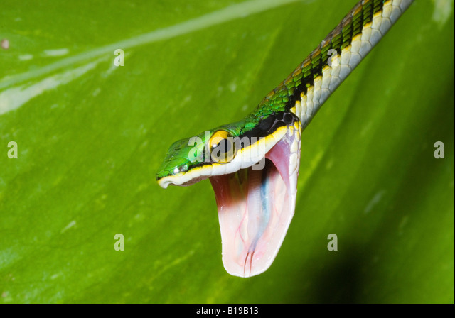 Mexican parrot snake (Leptophis mexicanus) with open-mouth threat display, Yucatan Peninsula, Mexico - Stock Image