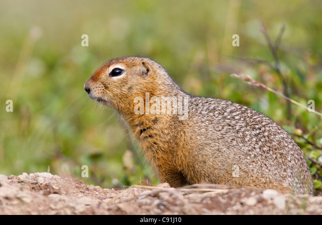 Arctic Ground Squirrel stands at the entrance to its burrow, Arctic Valley, Chugach State Park, Southcentral Alaska, - Stock Image
