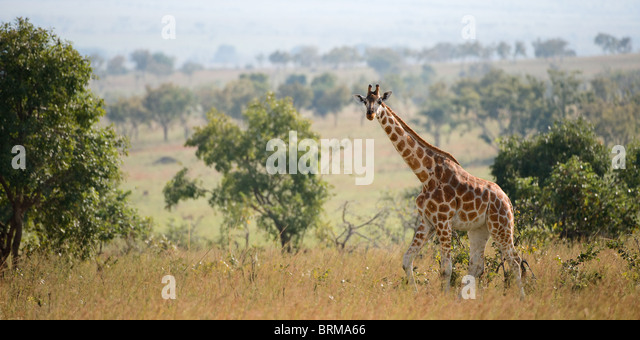 Giraffe walking about on savanna in a midday sun. - Stock Image