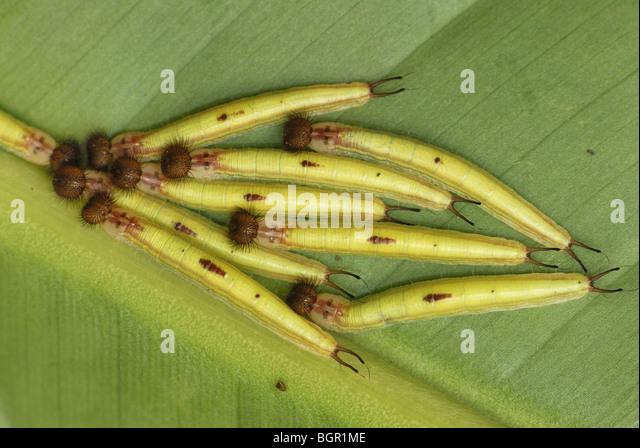 Owl Butterfly (Caligo memnon), caterpillars, Colombia - Stock Image