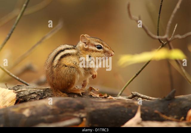 Eastern Chipmunk (Tamias striatus) in autumn. - Stock-Bilder