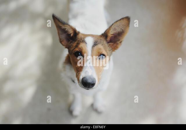 Italia, Piedmont, Tortona, Portrait of puppy looking at camera - Stock Image