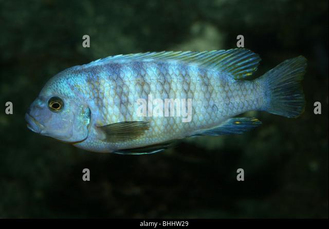 Malawi cichlids stock photos malawi cichlids stock for Lake malawi fish