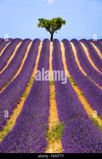 Lavender field and olive tree in Valensole on a warm summer afternoon. Southern Alps (Alpes de Haute Provence), - Stock Image