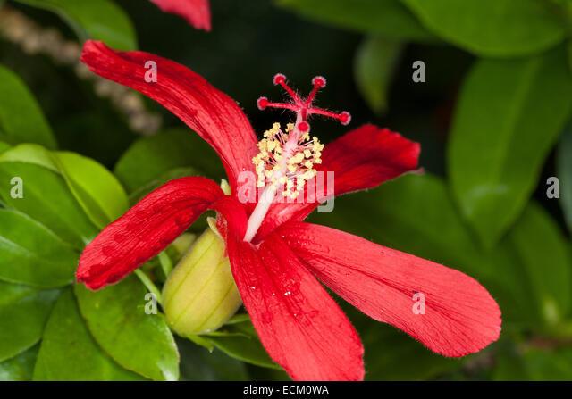 hawaiian red hibiscus stock photos hawaiian red hibiscus. Black Bedroom Furniture Sets. Home Design Ideas