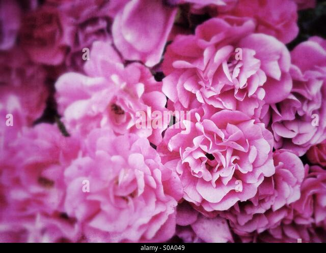 Dusty Pink fluffy flowers background - Stock-Bilder