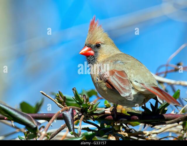 Female Northern Cardinal - Stock-Bilder