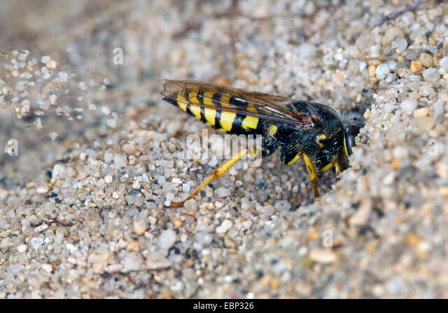 Sand wasp (Bembix oculata), digging sand out of  its den - Stock Image