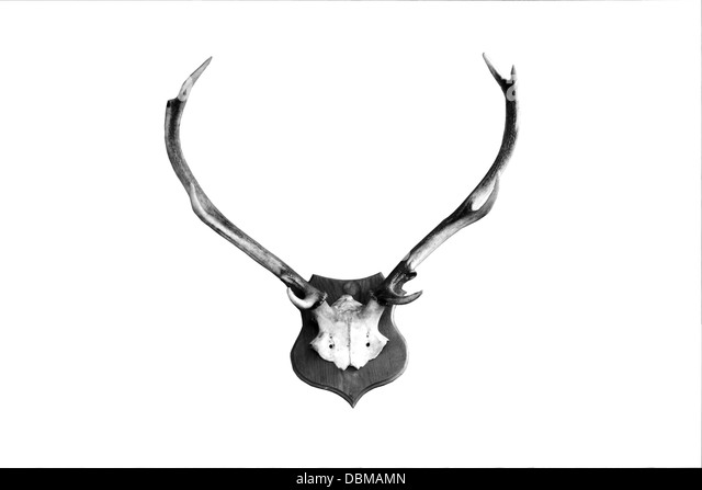 Deer antlers isolated - Stock Image