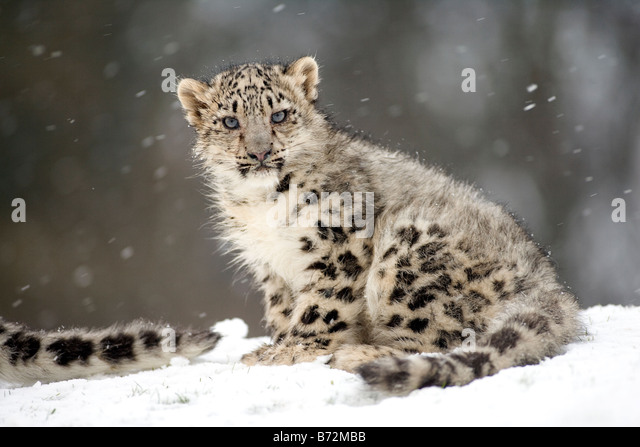 Snow Leopard Cub in the snow - Stock-Bilder