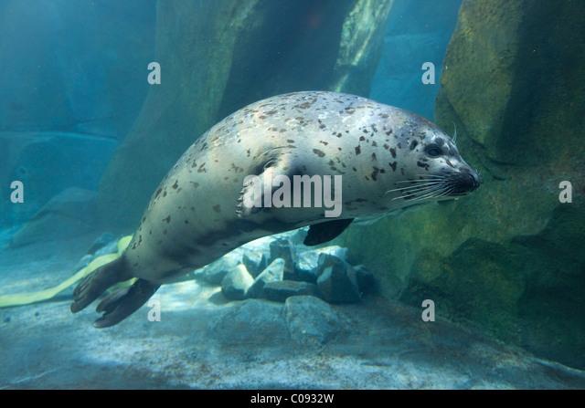 Adult Harbor Seal swims underwater at the Alaska Sealife Center in Seward, Kenai Peninsula, Southcentral Alaska, - Stock Image