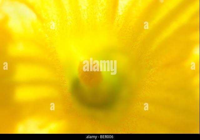 Yellow flower, Cucurbita Maxima, pumpkin flower, macro, close-up, close up, flower, flowers, stamen, yellow - Stock Image