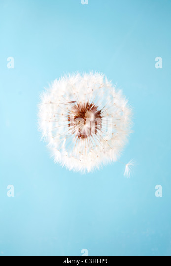 dandelion on blue - Stock Image