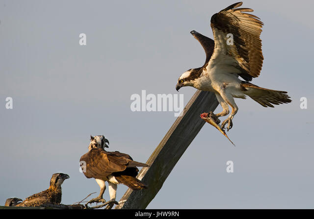 Osprey Female and Chick Watch Male Fly in with Fish - Stock Image