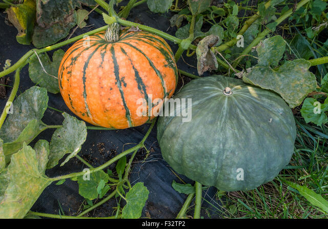 Squash Allotment Food Grow Your Own Food Fresh Produce - Stock Image
