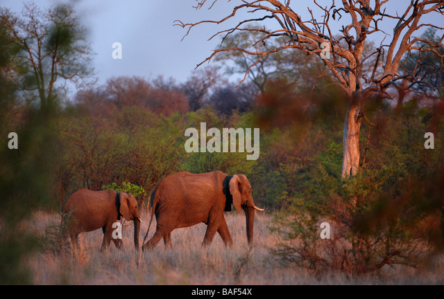 an African elephant with young in the bush at dusk, Kruger National Park, South Africa - Stock-Bilder